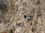 Super wagtail