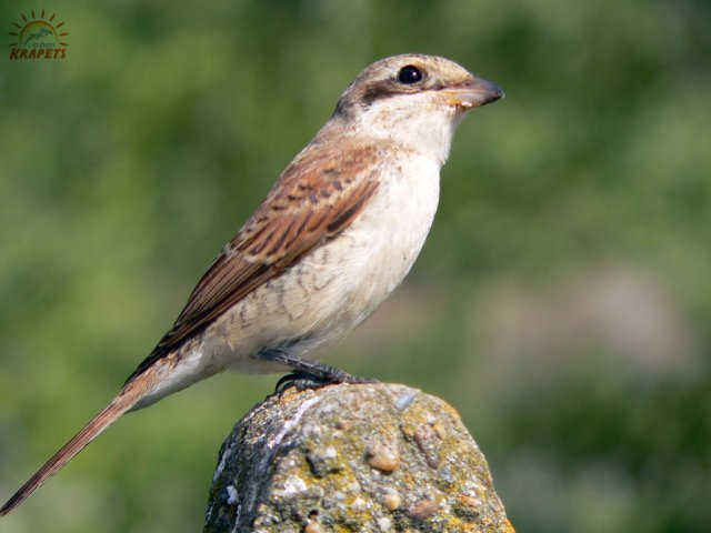 Female Shrike