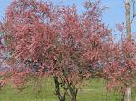 Pink flowered tree